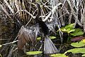 Anhinga - Anhinga anhinga, Everglades National Park, Homestead, Florida - 6484816077.jpg