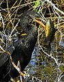 Anhinga with Fish at Lake Woodruff - Flickr - Andrea Westmoreland.jpg