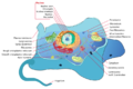 Animal Cell Structure.png