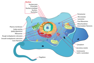 Cytology - Structure of an animal cell