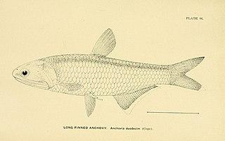 <i>Thryssa encrasicholoides</i> species of fish