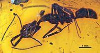 Anochetus exstinctus SMNSDO5479 02.jpg