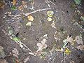 Anoplotrupes stercorosus-20081005.jpeg