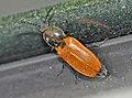 Anostirus-castaneus-01-fws.jpg