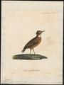 Anthus rufulus - 1825-1834 - Print - Iconographia Zoologica - Special Collections University of Amsterdam - UBA01 IZ16300143.tif