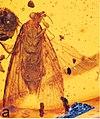 Antiquatortia histuroides AMNH DR8-43 Dominican amber fig A.jpg