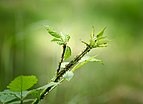 Ants cultivating afids on Rubus - Blackberry - Brombeere - Hesse - Germany - 01.jpg