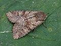 Apamea sordens - Rustic shoulder-knot - Зерновая совка обыкновенная (40406703334).jpg