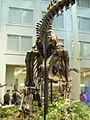 Apatosaurus at the CMNH 03.jpg