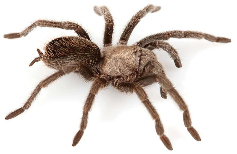 File:Aphonopelma superstitionense female ZooKeys 560.jpg