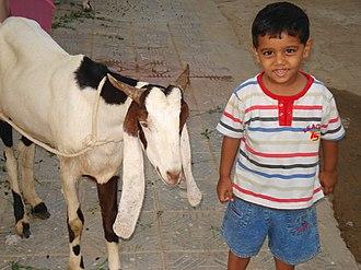 Hewan Kambing Domba Aqiqah Madani Farm
