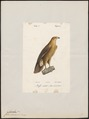 Aquila naevia - 1842-1848 - Print - Iconographia Zoologica - Special Collections University of Amsterdam - UBA01 IZ18100197.tif