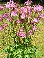 Aquilegia vulgaris-pink.jpg