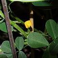Arachis hypogaea-IMG 5500.jpg