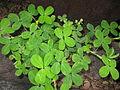 Arachis pintoi plant1 (9525437691).jpg