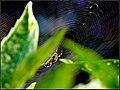 Araneus diadematus (7958464664).jpg