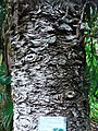 Araucaria cunninghamii bark (Ponta Delgada).JPG