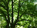 Arbres au jardin Albert Kahn 6.JPG