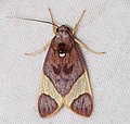 Arctiid Moth (Trichromia viola) (40344569372).jpg