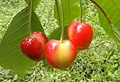 Ariano Irpino cherries.jpeg