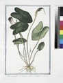 Arisarum, flore in tenuem caudam abeunte. (Mouse plant) (NYPL b14444147-1125108).tiff