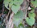 Aristolochia gigantea in Jardin des Plantes 05.JPG