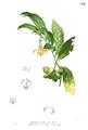 Artabotrys hexapetalus Blanco1.194.png