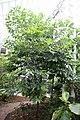Artocarpus Nong Nooch 4zz.jpg