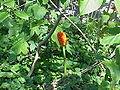 Arum maculatum2.jpg