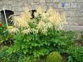 Aruncus garden 002.JPG