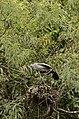 Asian openbill stork (Anastomus oscitans) from Ranganathittu Bird Sanctuary JEG4448.JPG