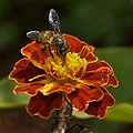 Mémoire des abeilles dans ABEILLES 120px-Asiatic-honey-bee