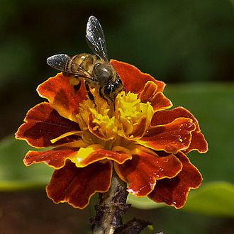 Apis cerana - Image: Asiatic honey bee