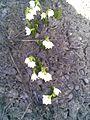 Asparagales - Leucojum vernum 4.jpg