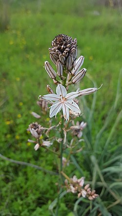 Asphodelus ramosus in Haifa.jpg