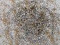 Aspicilia calcarea (L.) Mudd 265506.jpg