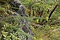 Aster linosyris PID1159-2.jpg