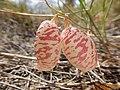Astragalus ceramicus var. filifolius - 35802780416.jpg
