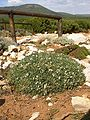 Astragalus terracianoi Belvedere Isola Piana 1.jpg