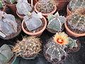 Astrophytum species (3644571669).jpg