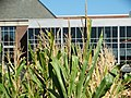 At the top of the corn in Morrow Plots.jpg