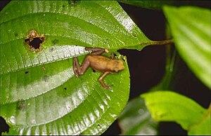 Atelopus franciscus - Image: Atelopus franciscus
