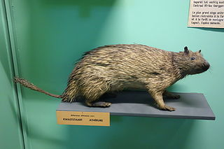 African brush-tailed porcupine Species of rodent
