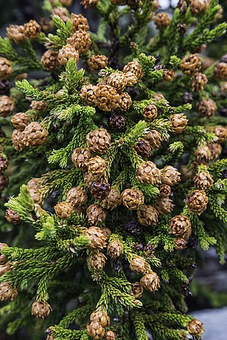 Athrotaxis - A. selaginoides cones during mast seeding event (Austral summer 2015).