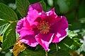 Atlas roslin pl Róża pomarszczona 3088 7793.jpg