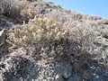 Atriplex confertifolia (5041778897).jpg