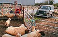 Attending to sheep - geograph.org.uk - 757961.jpg