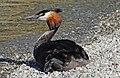 Australasian Crested Grebe. (13398674575).jpg