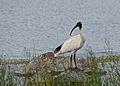 Australian White ibis0.jpg