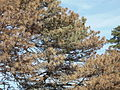 Austrian pine with wilt large.jpg